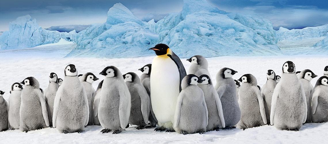 pinguin bilder zum drucken